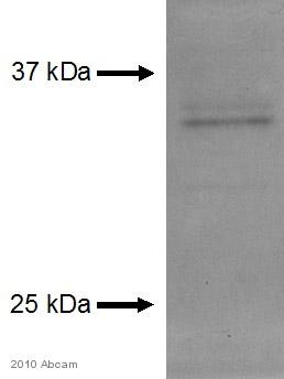 Western blot - Apolipoprotein E  antibody (ab7620)