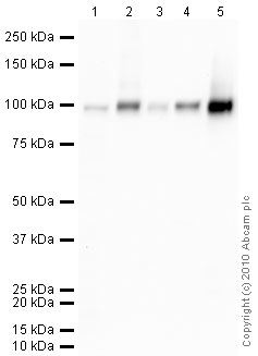 Western blot - alpha 1 Sodium Potassium ATPase antibody [464.6] - Plasma Membrane Marker (ab7671)
