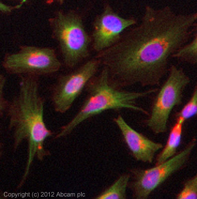 Immunocytochemistry/ Immunofluorescence - Anti-alpha Tubulin antibody [TU-01] (ab7750)