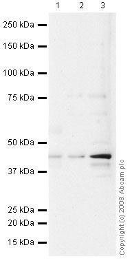 Western blot - HLA G antibody [MEM-G/1] (ab7759)