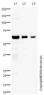 Western blot - CD27 antibody (ab70103)