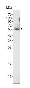 Western blot - Pea3 antibody [1A2G3;4B11E5;7D2E5] (ab70425)