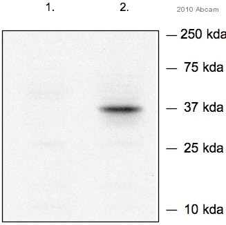 Western blot - Nanog antibody (ab70482)
