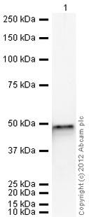Western blot - Anti-FEN1 antibody (ab70815)