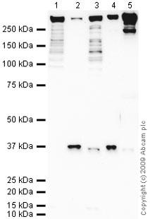Western blot - Anti-HPS2 antibody (ab71169)