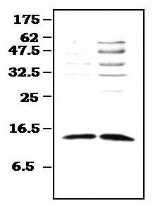 Western blot - Methionine Sulfoxide Reductase B antibody (ab71175)