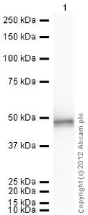 Western blot - Anti-SETD7 antibody - C-terminal (ab71214)