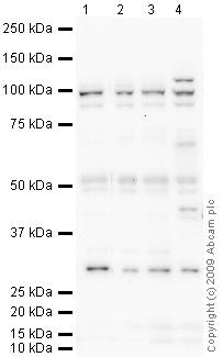 Western blot - Anti-TNPO3 antibody (ab71388)