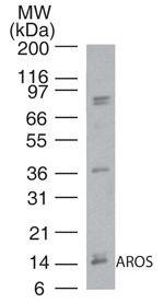 Western blot - RPS19BP1 antibody (ab72092)