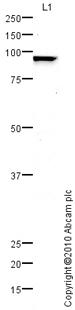 Western blot - H6PD antibody (ab72183)