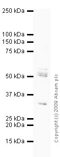 Western blot - BDNF antibody (ab72439)