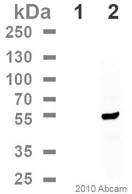 Western blot - Anti-DDDDK tag  antibody [M2] (Phycoerythrin) (ab72469)