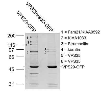 Immunoprecipitation - FAM21C antibody (ab72720)