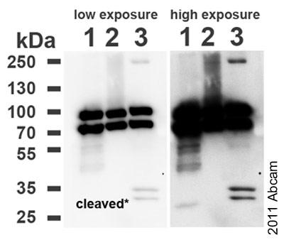 Western blot - Cleaved PARP antibody (ab72805)