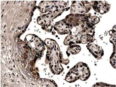 Immunohistochemistry (Formalin/PFA-fixed paraffin-embedded sections) - Prokineticin 1 antibody [MM0043-2L13] (ab72807)