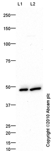 Western blot - ATG4B antibody (ab72878)