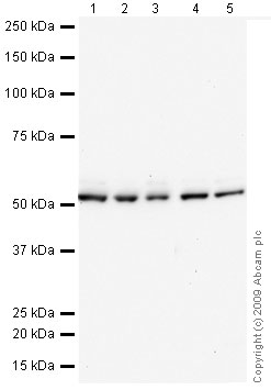Western blot - DNAJC3 antibody (ab72885)