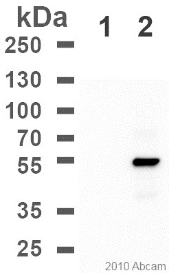 Western blot - Anti-DDDDK tag  antibody [M2] (SureLight® P3) (ab72958)