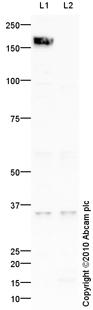 Western blot - IMPA2 antibody (ab73076)