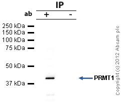 Immunoprecipitation - Anti-PRMT1 antibody (ab73246)