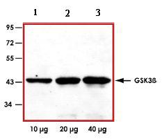 Western blot - GSK3 beta antibody [6C2] (ab73271)