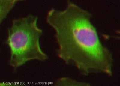 Immunocytochemistry/ Immunofluorescence - Peroxiredoxin 6 antibody (ab73350)