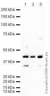 Western blot - FEN1 antibody (ab73362)