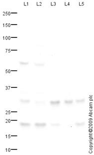 Western blot - Rab34 antibody (ab73383)