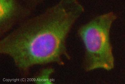 Immunocytochemistry/ Immunofluorescence - NEDD4-2 antibody (ab73386)