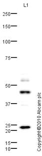 Western blot - Sp8 antibody (ab73494)