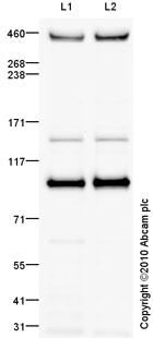 Western blot - TRRAP antibody (ab73546)
