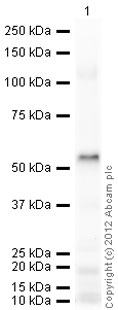 Western blot - ADFP protein (T7 Tag) (ab73631)