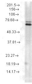 Western blot - Hsp70 antibody [5A5] (ab74072)