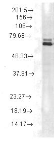 Western blot - Hsp70 antibody [2A4] (ab74082)
