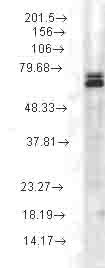 Western blot - Hsp70 antibody [3A3] (ab74084)