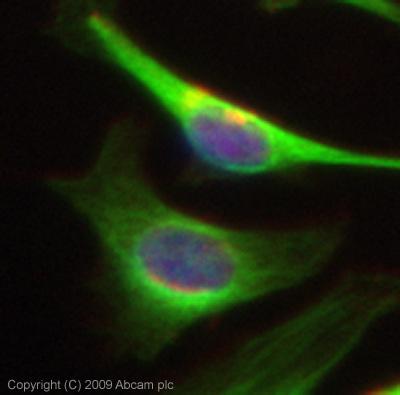 Immunocytochemistry/ Immunofluorescence - Polycystin 1 antibody [7e12] (ab74115)