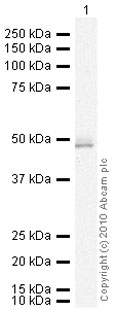 Western blot - E2F3 antibody (ab74180)