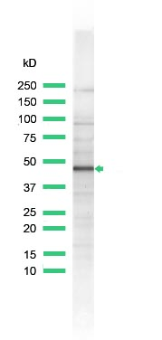 Western blot - Inhibin alpha antibody, prediluted (ab74323)