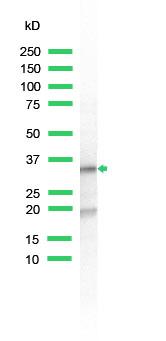 Western blot - RPS6 antibody (ab74338)