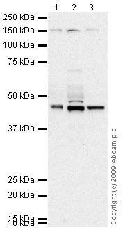 Western blot - Tau antibody (ab74391)