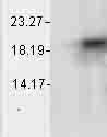 Western blot - Alpha B Crystallin antibody [1A7.D5] (ab74441)
