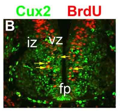 Immunocytochemistry/ Immunofluorescence - Anti-BrdU antibody [BU1/75 (ICR1)] (Biotin) (ab74547)