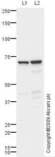 Western blot - ROR gamma antibody (ab74703)
