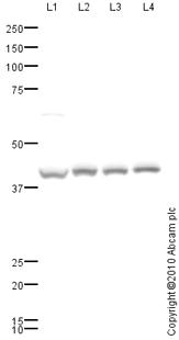 Western blot - ACAT2 antibody (ab74901)