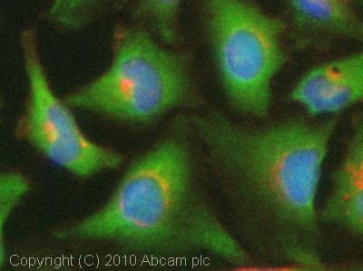 Immunocytochemistry/ Immunofluorescence - ACAT2 antibody (ab74901)