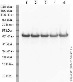 Western blot - Anti-beta Actin antibody - Loading Control (ab75186)