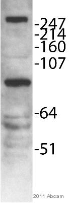Western blot - MLL5 antibody (ab75339)