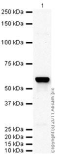 Western blot - SLC22A3 antibody [mAbcam75402] (ab75402)