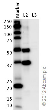 Western blot - Anti-Sprouty 1 antibody (ab75492)