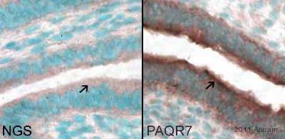 - Anti-MPRA antibody (ab75508)